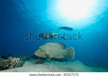 ocean, sun, napoleonfish and a freediver - stock photo