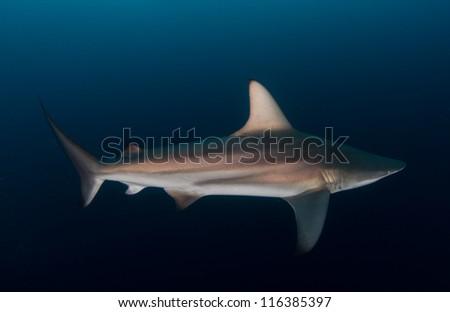 Oceanic black-tip shark in the Indian Ocean - stock photo