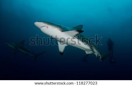 Oceanic Black-tip Sharks - stock photo