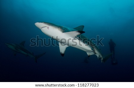Oceanic Black-tip Sharks and divers in the Indian Ocean - stock photo