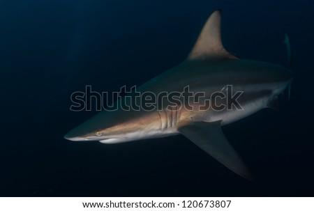 Oceanic Blacktip shark - stock photo