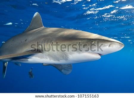 Oceanic Whitetip Shark - stock photo