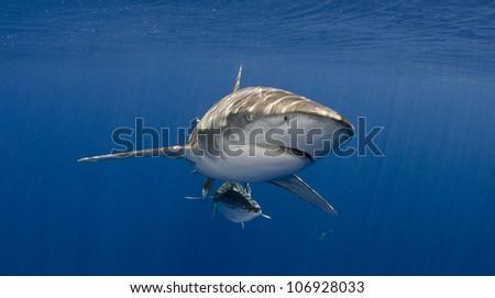 Oceanic Whitetip Shark Head On Blue Water - stock photo