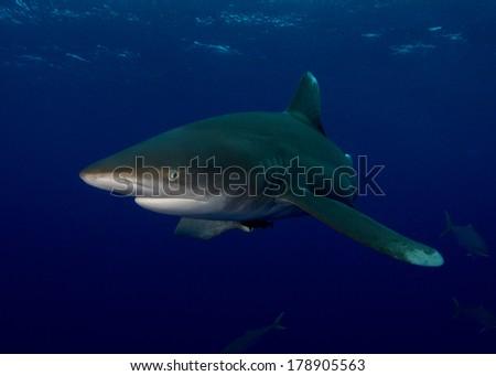 Oceanic Whitetip Shark in the Bahamas - stock photo