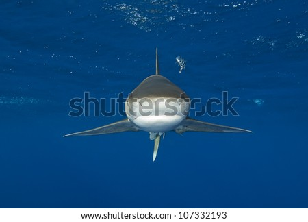 Oceanic whitetip shark swims directly at camera - stock photo