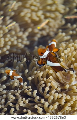Ocellaris clownfish in their host anemone - stock photo