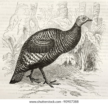 Ocellated Turkey old illustration (Meleagris ocellata). Created by Kretschmer and Jahrmargt, published on Merveilles de la Nature, Bailliere et fils, Paris, ca. 1878 - stock photo