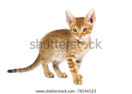 Ocicat kitten on a white background. Studio shot. - stock photo