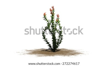 Ocotillo flowers - isolated on white background - stock photo