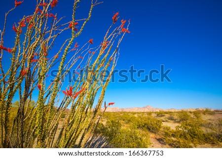 Ocotillo Fouquieria splendens red flowers in Mohave desert california USA - stock photo