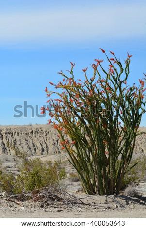 Ocotillo shrub in bloom during spring in the desert of California. - stock photo