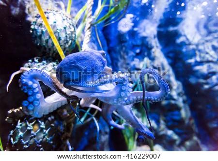 Octopus cephalopod mollusc - stock photo