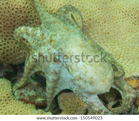 Octopus on a shallow water reef - stock photo
