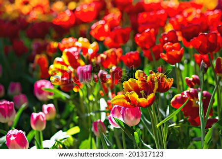 Ode to Joy. View of a bright, vivid, vibrant, cheerful, warm, sunlit sun-drenched flower bed of tulips of an assortment of breeds and colors. Red color prevails. - stock photo