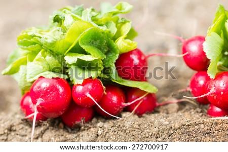 Of freshly picked organic garden radishes - stock photo