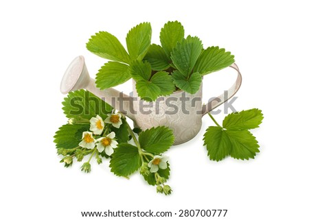 of strawberry leaves and flowers in a pot for watering - stock photo