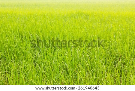 off-season fresh paddy field background in thailand - stock photo