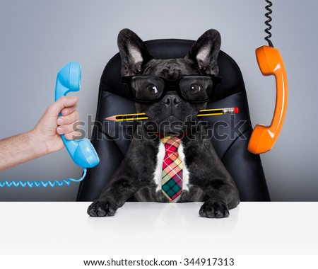office businessman french bulldog dog  as  boss and chef , busy and burnout , sitting on leather chair and desk, telephones hanging around - stock photo