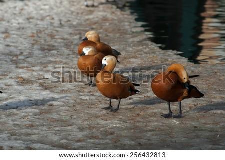ogar ducks on a snow having rest - stock photo