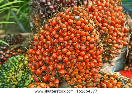 oil palm - African oil palm, Macaw fat, (Elaeis guineensis Jacq.) - stock photo