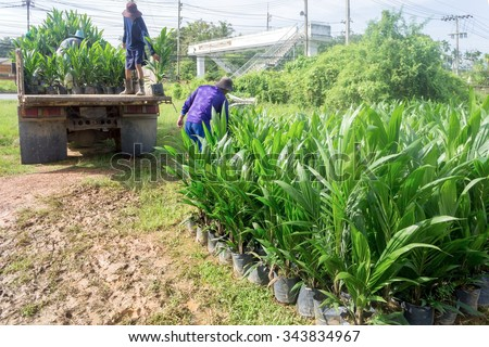 Oil palm nursery in Thailand. Workers hold oil palm sapling for stack on the truck.  - stock photo
