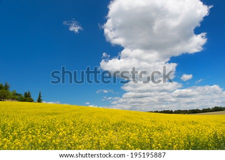 Oil seed rape field against blue sky and white clouds - stock photo