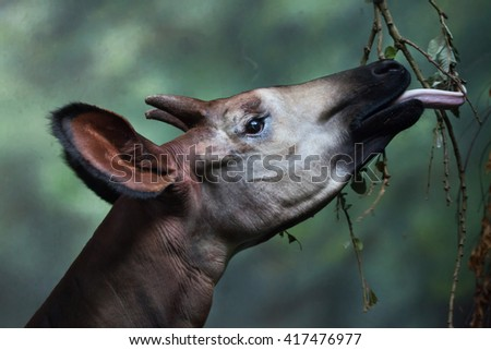 Okapi (Okapia johnstoni). Wild life animal.  - stock photo