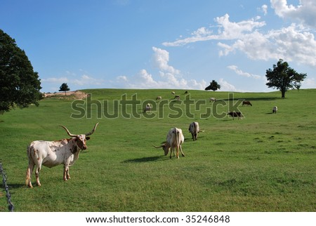 Oklahoma Longhorn Field - stock photo