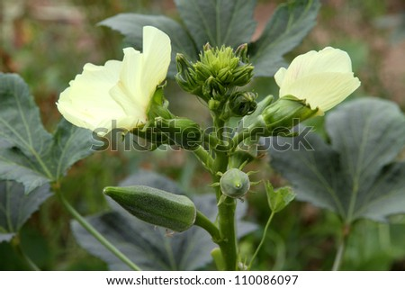 okra blossom - stock photo
