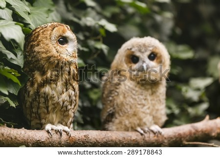 old and young tawny owl - stock photo
