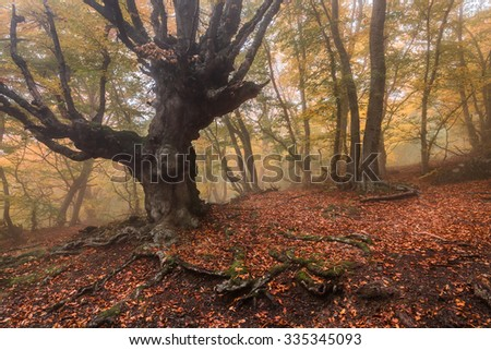 Old beech in misty forest with fog in the autumn - stock photo