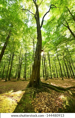 Old beech tree in green forest - stock photo