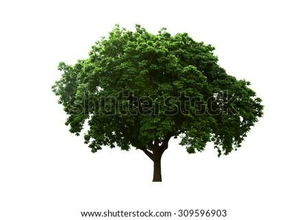 Old big tree isolated white background. - stock photo