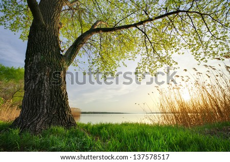 Old big tree. Spring nature composition. - stock photo