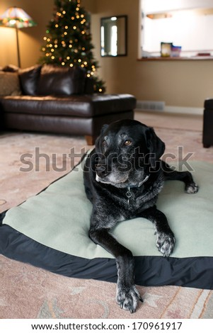 Old Black Dog with Gray Muzzle Relaxing at Home - stock photo