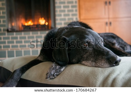 Old Black Dog with Gray Muzzle Relaxing at Home by Fireplace - stock photo