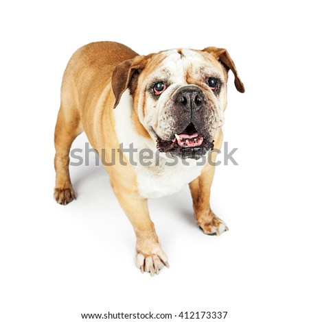 Old blind purebred English Bulldog standing on white studio background - stock photo