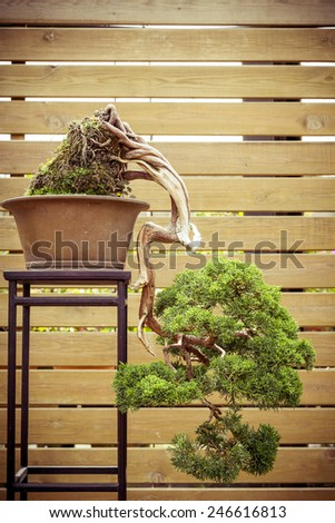 old bonsai tree in a  flower pot grows downwards - stock photo