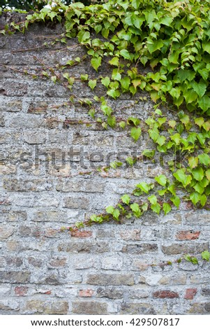 old brick wall with green ivy - stock photo