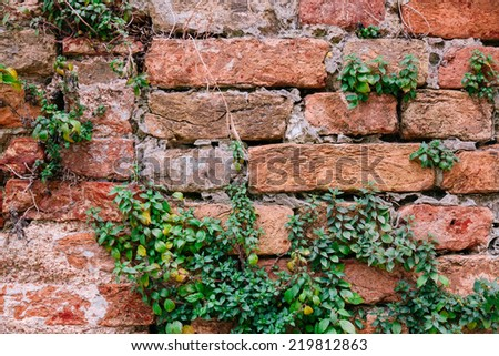 Old brick wall with plants and roots  - stock photo