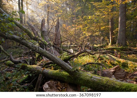 Old broken oak tree branch lying and sunbeams above,Bialowieza Forest,Poland,Europe - stock photo