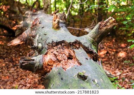 Old Broken Tree - stock photo