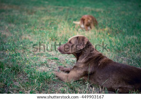 old brown dog resting on grass in city park, other dog is out of focus on background - stock photo