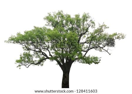 old camphor tree with white background - stock photo