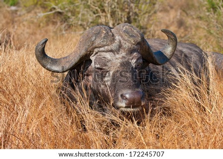 old cape buffalo bull lying in grass in South Africa - stock photo