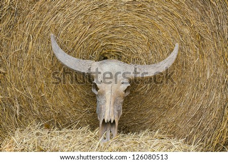 Old cattle skull - stock photo