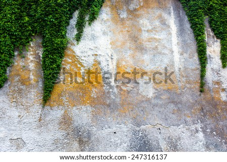 Old concrete wall with the green ivy - stock photo
