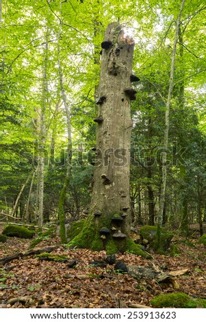 Old deciduous tree with polypores in natural forest  - stock photo