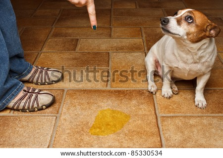 Old dog being scolded beside it's urine on the floor - stock photo