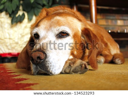 Old dog with sad expression in white face - stock photo